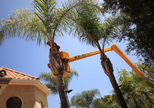 Palm Tree Trimming-Miami Beach FL Tree Trimming and Stump Grinding Services-We Offer Tree Trimming Services, Tree Removal, Tree Pruning, Tree Cutting, Residential and Commercial Tree Trimming Services, Storm Damage, Emergency Tree Removal, Land Clearing, Tree Companies, Tree Care Service, Stump Grinding, and we're the Best Tree Trimming Company Near You Guaranteed!